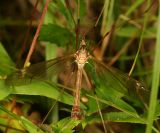Tipula monticola