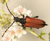 Longhorned Beetles - Subfamily Lepturinae - Flower Longhorns