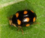 Orange-spotted Lady Beetle - Brachiacantha ursina