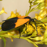 8087 -- Black-and-yellow Lichen Moth -- Lycomorpha pholus