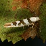 2457 -- Bronze Alder Moth -- Argyresthia goedartella