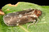 Achilid Planthoppers - Achilidae