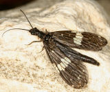 Dobsonflies and Fishflies - Corydalidae