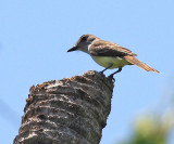Yucatan Flycatcher - Myiarchus yucatanensis