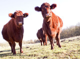 Beef Shorthorn Heifers