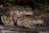 Common Midwife Toad - Rospo ostetrico - Gemeine Geburtshelferkröte - Alytes obstetricans