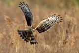 Hen Harrier (Circus cyanesus)