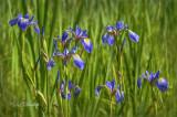 ** 230.12 - Wild Blue Flag Iris