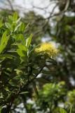 Yellow Pohutakawa