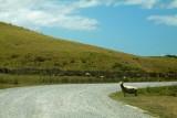 Kiwi sheep waiting to cross the road.