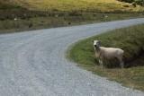 Kiwi sheep waiting to cross the road