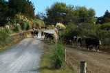 Typical kiwi scene... cows on their way to the milking shed and having to cross the road.