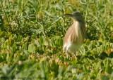 Ralreiger (Ardeola squacco)