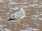 Herring Gull (2nd Winter juvenile)
