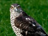 Sparrowhawk female