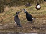 Cormorant Bonding