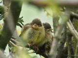 Chiffchaff fledglings