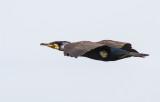 Cormorant (sinensis)