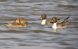 Pintail drakes and ducks