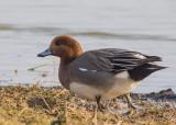 Male Wigeon
