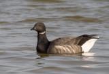 Dark-bellied Brent Goose