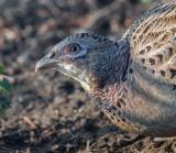 Hen Pheasant