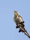 Willow warbler.jpg