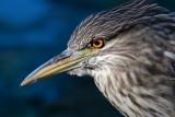 juvenile black-crowned night heron 392