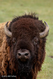 Bison, by Bill Cathey