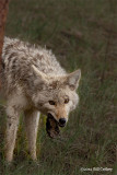 Coyote with Catch, by Bill Cathey