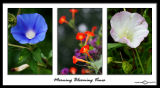Red, White and BlueIpomoea (Morning Glory) & Calystegia (Bindweed)August 30