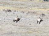Elk in RMNP