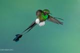 Booted Racket-tail Hummingbird