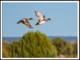 American Wigeon Pair In Flight