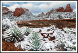 Snow Covered Agave