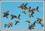Flock of American Wigeons in Flight