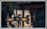 Wood Ducks in the Spotlight