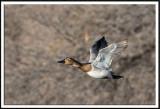 Hen Canvasback In Flight