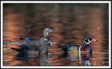 Wood Duck Trio