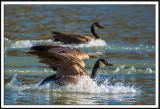 Canadian Geese Splash Landing