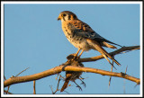 American Kestrel with its Catch of the Day