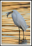 Snowy Egret and Meal