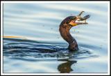Neotropic Cormorant Feeding