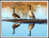Canadian Geese Mirrored