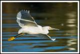 Flight of the Snowy Egret
