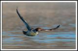 Common Merganser (hen) in Flight