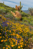 Sonoran Poppies