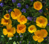 Mexican Poppies and Blue Phacelia