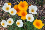 White and Gold Mexican Poppies