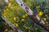 Brittlebush and Cholla Skeletons
